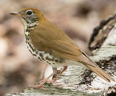 Wood Thrush  or maybe a Brown Thrasher    I think I saw this in my oak tree on 6/30/2014