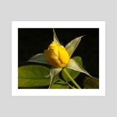 #INPRNT #fine art #print #poster #art Planting Roses, Print Poster, Yellow Roses, Fine Art, Art Prints, Printed, Gallery, Paper, Flowers