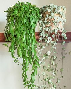 lipstick plant (Aeschynanthus Japhrolepis) left right : String of heart Inside Plants, Room With Plants, House Plants Decor, Live Plants, Plant Decor, Exotic House Plants, Planting Succulents, Planting Flowers, Lipstick Plant