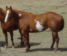 APHA horses, ranch horses, Paint horses, horse sales, horse auctions, horses for sale, AQHA horses for sale, APHA horses for sale, foals, horses, breeding, stallions, mares, broodmares, brood mares, paint mares, paint broodmares, quiet temperment, geldings, chestnut, sorrel, brown, bay, gelding, foundation, bloodlines, foundation bloodlines, pedigree, paint breeders, apha breeder, mr robin boy, robin boy, painted robin, riding horses, trail horse, tobiano, overo, tovero, horse, paint, Horse…