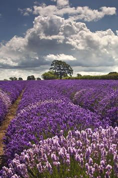 -BLEN: Aromaterapia- Lavender fields, Provence, France