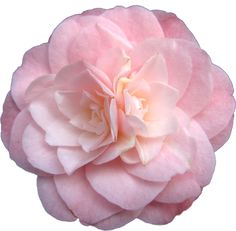 449 best elegant flowers on white background images on pinterest transparent flowers camellia japonica little bo peep x mightylinksfo