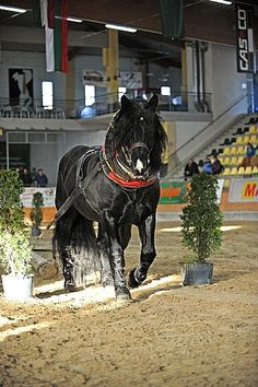 Noriker stallion Elan Nero XIII Draft Horse Breeds, Draft Horses, Noriker Horse, Suffolk Punch, Gypsy Horse, All About Horses, Akhal Teke, Clydesdale, Tier Fotos