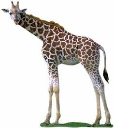 Girafa , quando olhamos para suas pernas a impressão que se tem é suas pernas dianteiras são maiores que as traseiras , isto se dá porque todo corpo parece inclinado para baixo , a parte de trás . Embora as pernas sejam todas do mesmo comprimento  , as pernas da frente parecem maiores por causa do formato dos fortes músculos do topo das pernas e do início do pescoço.
