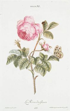 Rosa XI 'La Reine des fleurs'. [Rose, the Queen of Flowers] From New York Public Library Digital Collections.