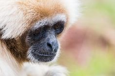 A white-handed gibbon at South Lakes Safari zoo in 2016. A white-handed gibbon at the zoo in 2016. Animal deaths last year included a squirrel monkey stuck behind a radiator. Photograph: Alamy