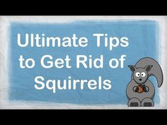 1000 Images About Squirrel Deterrent On Pinterest Squirrel In The Attic And How To Get Rid