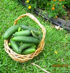 The last 25 pounds of cucs, we got almost 100 pounds this year, our family, neighbours and friends were happy about that too