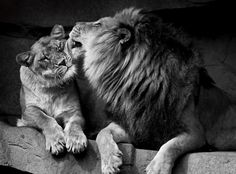 Lions can be nurturing.