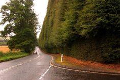 Meikleour hedge by Jonathan Billinger, courtesy Wikimedia Commons