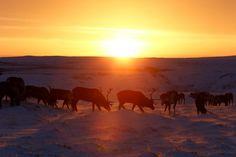 En las remotas regiones árticas de Rusia, el pastoreo de renos ha sido una forma de vida durante siglos. Cada invierno, los pastores del exiguamente poblado distrito autónomo de Nenetsia, en Rusia, reúnen a sus renos en corrales al aire libre antes de seleccionar a los más débiles para sacrificarlos. Dicho sacrificio, al reducir el tamaño de los rebaños, ayuda a preservar el equilibrio ecológico de la frágil tundra que caracteriza a la región, al tiempo que les permite ganarse la vida a los…