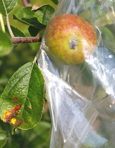 Bagging apples bag fruit pest management organic gardening home orchard Japanese method ---My apple trees finally blossomed this year, and now we have baby apples growing. I'm going to try this method on a few...