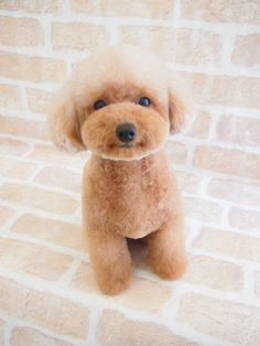 "Receive wonderful suggestions on ""poodle puppies"". They are actually available for you on our web site. Dog Grooming Styles, Poodle Grooming, Pet Grooming, Poodle Cuts, Poodle Mix, Poodle Puppies, Cortes Poodle, Cute Puppies, Cute Dogs"