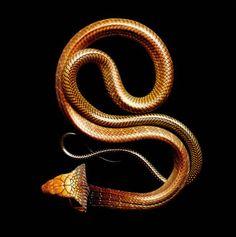 Cobra Reale (Visita il nostro sito templedusavoir.org)