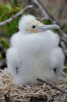 Galapagos Frigatebird In Bartolome Islands Ecuador