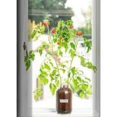 Back to the Roots Windowsill Organic Cherry Tomato Grow Kit Back to the Roots Self-Watering Planter Cherry Tomato Plant, Tomato Plants, Cherry Tomatoes, Mushroom Grow Kit, Growing Tomatoes In Containers, Grow Tomatoes, Baby Tomatoes, Tomato Farming, Planting Vegetables