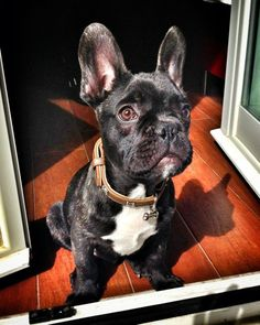 French Bulldog :) I will have one and name him Frankie