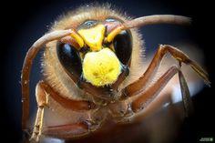 Wasp Wasp, Macro Photography, Animals, Animales, Animaux, Animal, Animais, Vespas