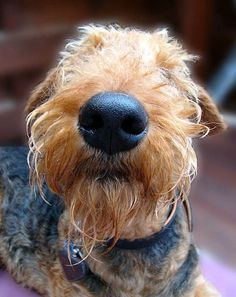 there's nothing like an airedale jelly-nose snuffling right up to your face!