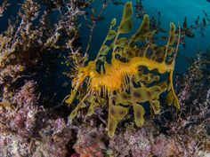 Ruby Seadragon Has Been Seen In The Wild For The First Time   IFLScience