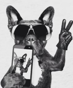 Frenchies First Selfie, French Bulldog, illustration, collage art