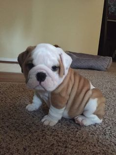 This puppy does not even look real, it is so cute!!