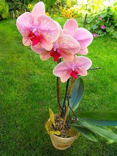 boti4 Amarillis, Flower Arrangements, Orchids, Pastel, Rose, Plants, Art, Lovers, Tulips