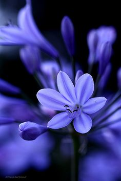 Agapanthus or Lily of the Nile by Bertrand HANS, beautiful purple flowers