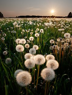 A field of wishes ~ dandelion sunset