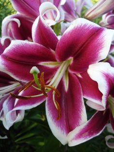 'Flashpoint'  - Orienpet Hybrid Lily Bulb