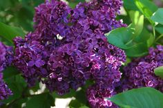 I love the beauty of a dark Lilac