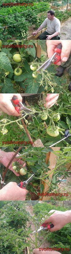 Нормирование количества плодов томатов открытого грунта с целью друж   сад. огород   Постила