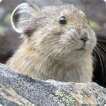 North America: American Pika    The cute wee pika is related to the rabbit and lives in the mountains of the American west.