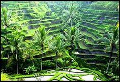 Ubud, Indonesië. Rijstvelden.