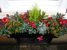 Winter. Flowering Plants include Red Cyclamen, Winter Cherry Solanum psendocapsicum, Skimmia japonica 'Rubella' and Cineraria 'Silver Dust' for contrast.