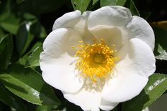 Georgia State Flower | Cherokee Rose