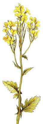 Creme com flores de mostarda (Ricette coi fiori: Crema alla senape.)