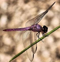 purple dragonfly on a green branch