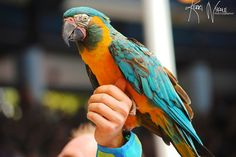 """""""Coming In For a Landing"""" - A performer reaches out to catch a colorful parrot during the Blue Horizons show at SeaWorld Orlando."""