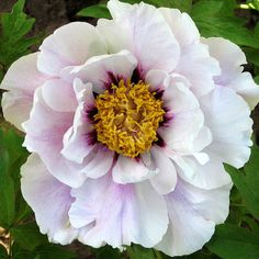 Showy, dark purple flares form a many-pointed star around the bright yellow stamens of this Moutan Tree Peony. Herb Garden, Garden Plants, Beautiful Gardens, Beautiful Flowers, Front Yard Plants, White Flower Farm, Tree Peony, Peonies Garden, Fall Plants