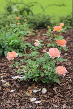 How to Grow Your Own Roses