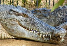 Large Head of a Saltwater Crocodile