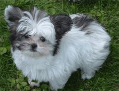 Mi-ki dogs share common ancestors with the Papillon, the Maltese, and the Japanese Chin. #toy dog #searchub