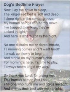 A Lovely Husky Prayer from Sheba Positive Energy Quotes, Bedtime Prayer, Lay Me Down, My Husky, Poems Beautiful, Alaskan Malamute, Dog Boarding, Puppy Pictures, Dog Life