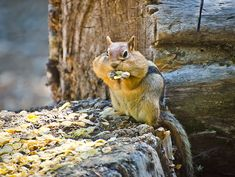 So much fun to watch this Chip-Monk stuffing it's Bulging Cheek's.  Posted by Omygodtom  on 2015-01-06 12:43:50    Tagged:  , Wild , Wild Life , Chipmunk , Natural , Nature , Flickr , Explorer , Twitter , Facebook , Yahoo , Google , Furry , Fuzzy , Mt. Hood , Trillium Lake ,...