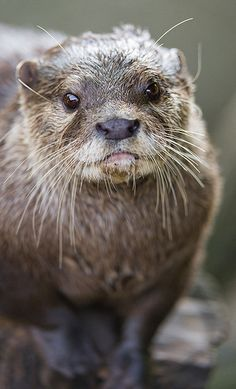 Otter - Who can resist that face? So cute!