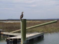 Cormorant photograph by @M.M. Anderson taken at Murrells Inlet, SC
