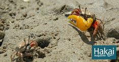 The Confusing Social Lives of Fiddler Crabs