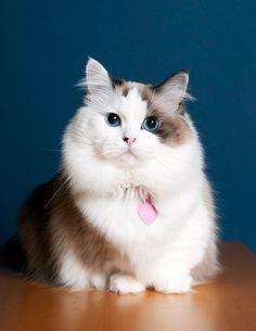 I want THIS dwarf cat!