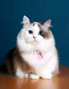 Dwarf cats are S'CUTE bc their legs are so little let's get one.